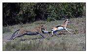 A leopard misses the gazellae only just.  Maasai Mara, Kenya. Nikon D5, 600mm, f6.3, 1/3200 sec, ISO800, Aperture priority