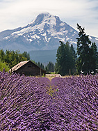 A field of lavender sits beneath the towering glacier covered slopes of Mt. Hood in Oregon.