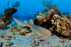 nurse shark, Ginglymostoma cirratum, Key Largo, Florida Keys National Marine Sanctuary, Atlantic Ocean