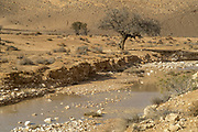 Israel, Negev Desert, a flash flood carries mud and debris in its wake