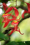 Pride of Burma, Orchid tree, Lyon Arboreteum, Manoa Valley, Honolulu, Oahu, Hawaii
