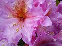 purple hybrid rhododendron flower