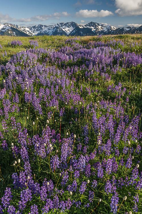 Lupine (Lupinus latifolius) and American bistort (Polygonum bistortoides), afternoon light, July, Obstruction Point, Olympic National Park, Washington, USA