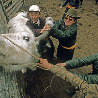 MONGOLIA, Darhad Valley herders wrestle with an ox as they try to put a rope through its nose in order to control it .