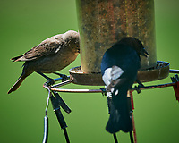 Brown-headed Cowbirds. Image taken with a Nikon D5 camera and 600 mm f/4 VR telephoto lens (ISO 720, 600 mm, f/5.6, 1/1250 sec).
