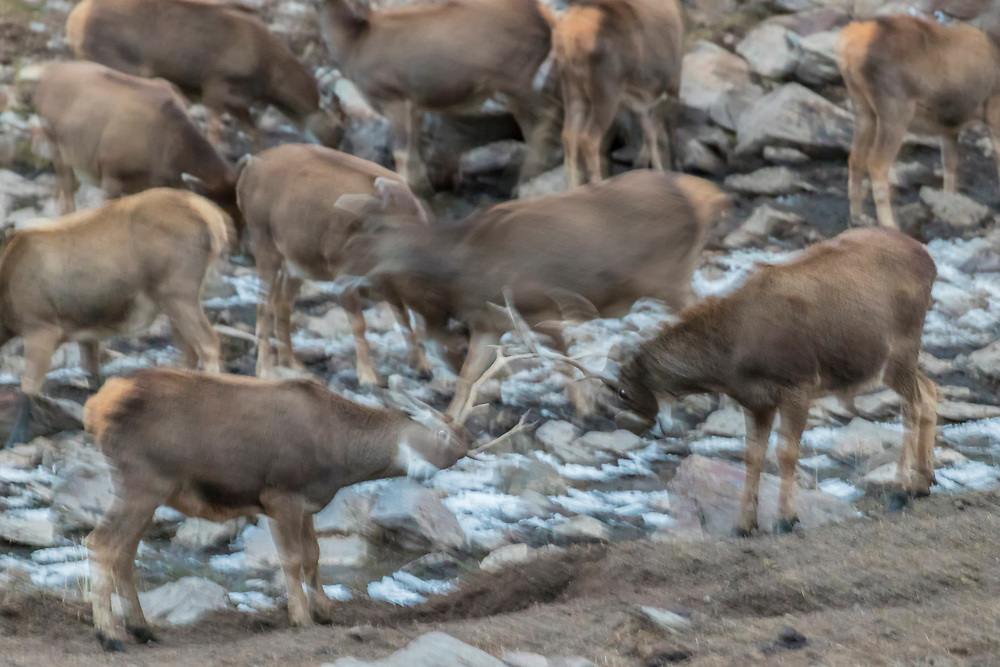 A herd of White-lipped deer also called Thorold's deer, Cervus albirostris, 白唇鹿, with two male bucks fighting at the tibetan plateau in Serxu, Garze Prefecture, Sichuan Province, China