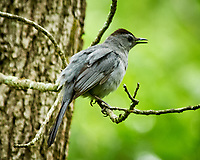 Gray Catbird. Sourland Mountain Preserve. Image taken with a Nikon D300 camera and 80-400 mm VR lens.