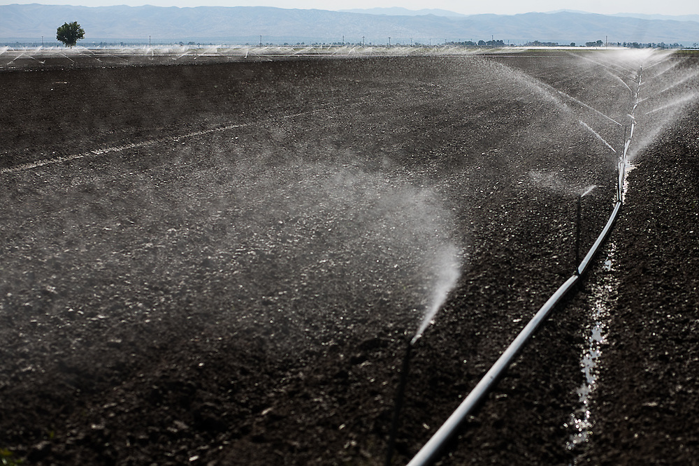 Sprinkler irrigation in the afternoon heat, San Joaquin Valley.