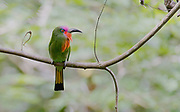 Red-bearded Bee-eater (Nyctyornis amictus) from Sepilok canopy, Sabah, Borneo.