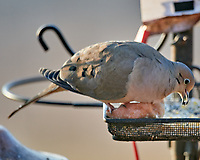 Mourning Dove (Zenaida macroura). Image taken with a Nikon D800 camera and 600 mm f/4 VR lens.