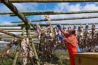 Islande, peninsule de Reykjanes, sechage du poisson destine a l exportation vers l'Afrique // Iceland, Reyjanes peninsula, drying fish for exportation to Africa