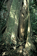 Buttress Roots of Tree, Monteverde National Park, Central America