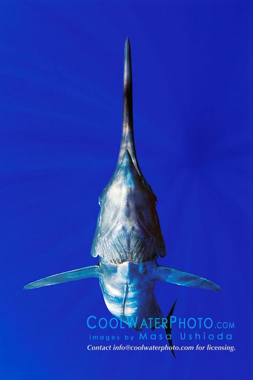 blue marlin, Makaira nigricans, off Kona Coast, Big Island, Hawaii, USA, Pacific Ocean ( dc )