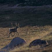 Barren Ground Caribou, (Rangifer arcticus) Northwest Territories. Canada. Near Wager Bay