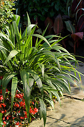 Setaria palmifolia on a corner in the Exotic Garden at Great Dixter. Palm Grass