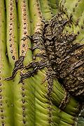 Close up of scar on a saguaro cactus in Saguaro National Park, Arizona