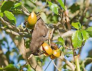 Brown Jay, Cyanocorax morio