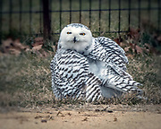 Snowy owl in CP, NYC