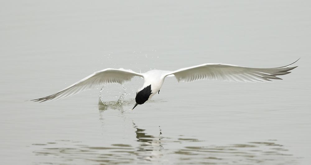 Thalasseus sandvicensis,  <br /> Galveston Island, Texas, April 2021