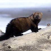 Fisher, (Martes pennanti) Montana. Hunting along frozen river bank. Winter.  Captive Animal.