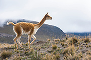 Vicuñu (Vicugna vicugna)<br /> Chimborazo National Park<br /> Chimborazo Volcano (Highest mountain in Ecuador 6384.4 meters or 20702 feet)<br /> Andes<br /> ECUADOR, South America<br /> Inactive Volcano