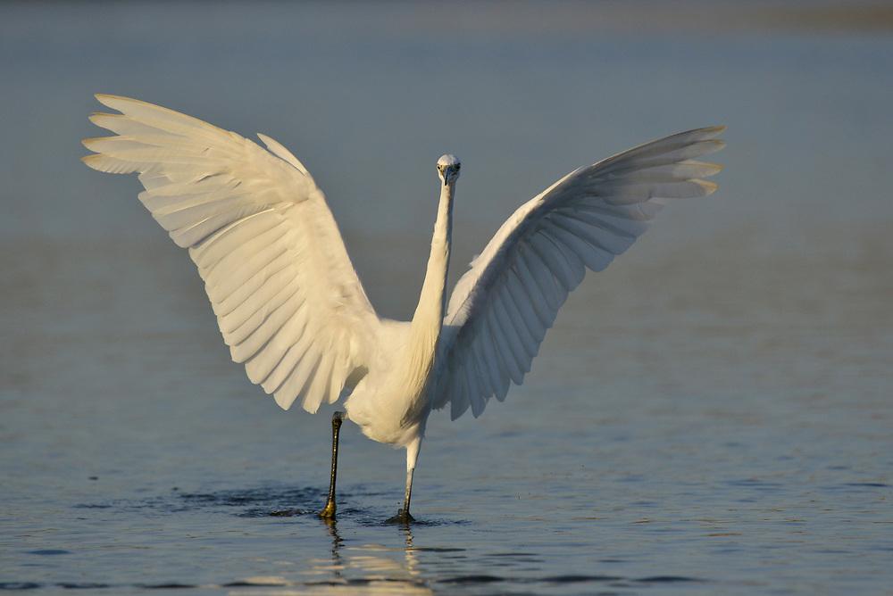 Little Egret - Egretta garzetta