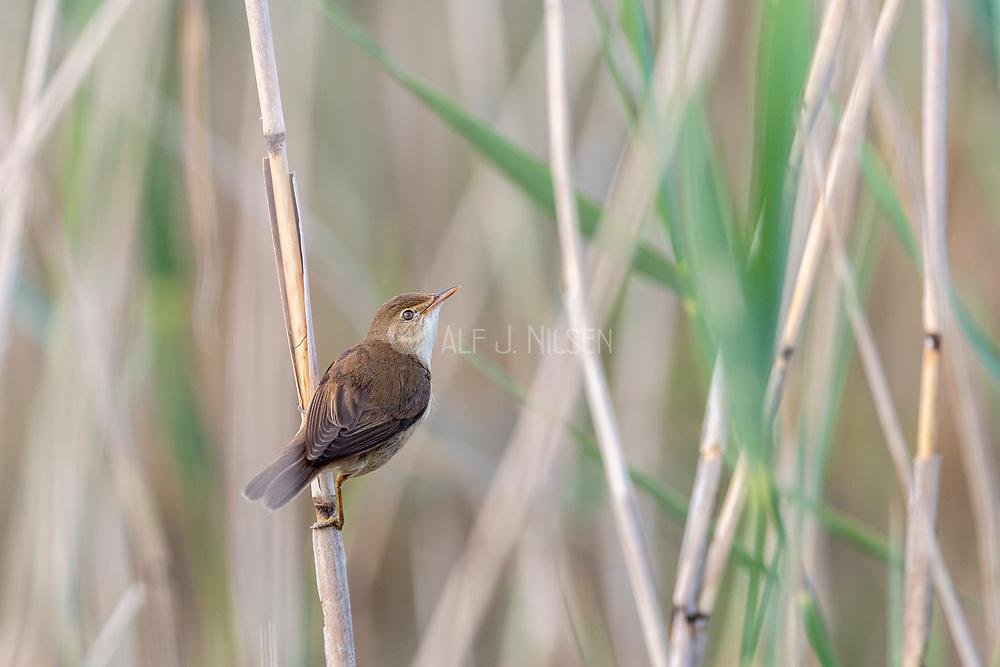 Eurasian reed warbler (Acrocephalus scirpaceus) from Vejlerne, northern Denmark.