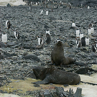 Southern Fur Seals relax beside a Gentoo Penguin rookery on a stony beach on Cuverville Island, Antarctica.