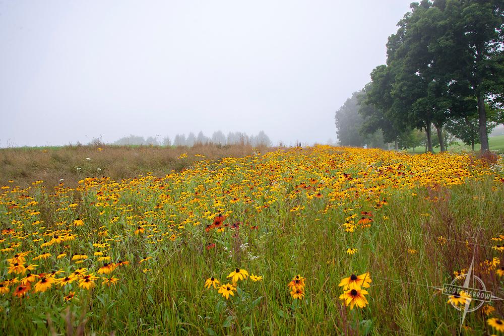 Field of black eyed susans. Kripalu in Lenox, MA.