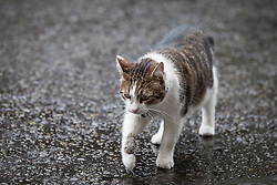 © Licensed to London News Pictures. 02/08/2016. London, UK. Larry, the Prime Minister's cat, prowls around Downing Street. He has been caught fighting with Foreign Office rival Palmerston in recent weeks. Photo credit: Rob Pinney/LNP