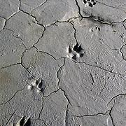 Wolf tracks. Glacier Bay National Park & Preserve, Alaska