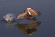Brown Pelican in full breeding colors takes off (Pelecanus occidentalis) Bolsa Chica Wetlands, California