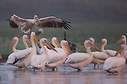 A flock of great white pelicans (Pelecanus onocrotalus) in the water Photographed in Ein Afek Nature Reserve, Israel in October