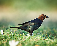 Brown-headed Cowbird (Molothrus ater). Campos Viejos, Texas. Image taken with a Nikon D4 camera and 600 mm f/4 VR lens