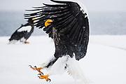 A Steller's sea eagle (Haliaeetus pelagius) landing in a snow storm  Raisa, Hokkaido, Japan