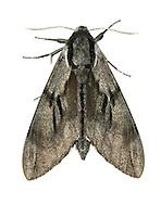 Pine Hawk-moth - Hyloicus pinastri