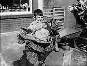 Large Cabbage (15lb) head grown by Mr C KElly, 1 Holywell Villas, Drumcondra - Son Tony holds prizewinner.10/08/1954