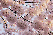 Cherry blossoms (Prunus sp) on a tree growing in a city park in Seattle, Washington.