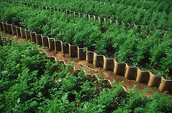 Beds of carrots in the Rotonda de Cojimar garden or Organoponico in Havana; Cuba,
