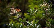 Monarchs on migration through the forest of Big Sur, California