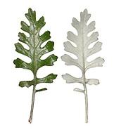 SilverRragwort - Senecio cineraria