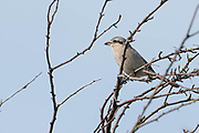 The Northern Shrike zipped overhead going behind me and landing on top of a leafless bush.