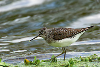 Solitary Sandpiper (Tringa solitaria),   Green Cay Nature Centre, Delray Beach, Florida, USA    Photo: Peter Llewellyn