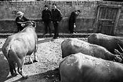 Sale of buffaloes in  Bac Ha Market, Vietnam. January/2018.