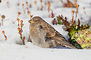 Stock photo of brown-capped rosy finch captured in Colorado.  These birds nest high in alpine in Colorado.  The nests are made of moss, grass, fur and feathers.