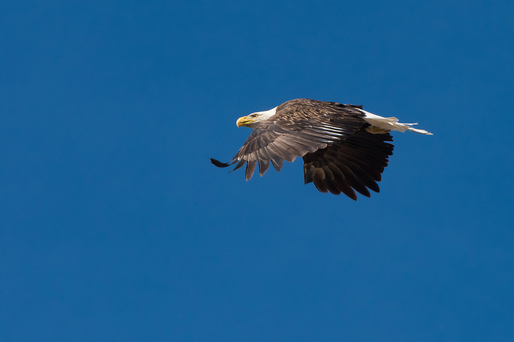 One of many bald eagles actively hunting over Lower Klamath Lake on a sunny late winter day in Northern California.