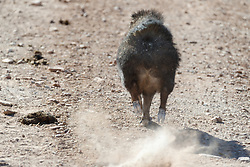 Javelina running down road, Ladder Ranch, west of Truth or Consequences, New Mexico, USA.