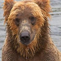 USA, Alaska, Katmai. Wet Grizzly Bear face.