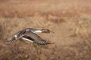 Pintail drake in flight