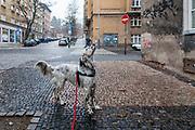 """English Setter """"Rudy"""" am 20.11. 2018 auf einem Spaziergang im Prager Stadtteil Zizkov, Tschechische Republik mit dem ersten Schnee der Saison. Rudy wurde Anfang Januar 2017 geboren."""